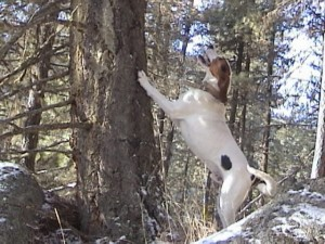 Hound Hunting for Idaho Mountain Lions