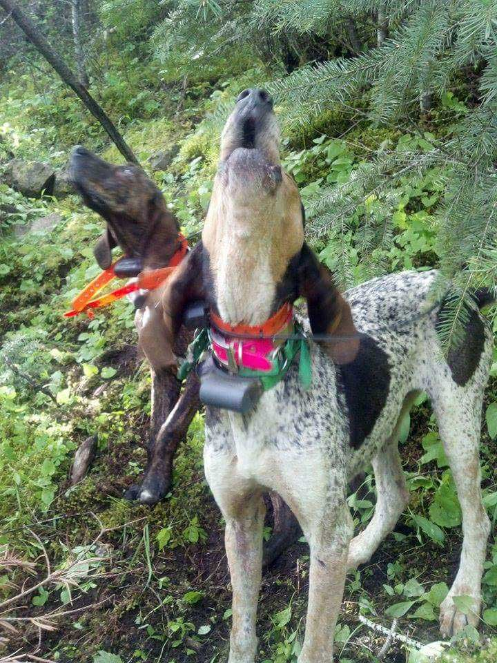 Hound hunting is a specialty of Miles High Outfitters