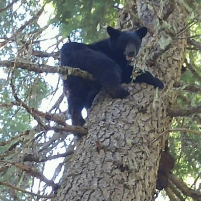 Idaho Black Bear Spot and Stalk