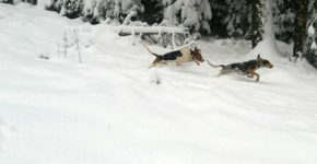 We have Walker Hounds for the best cougar and bear hunts and tracking.