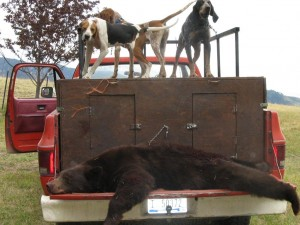 Idaho Black Bear hunting with hounds