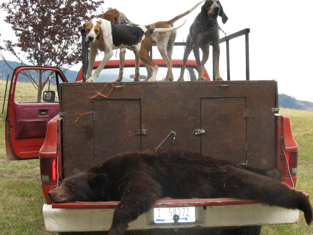 Idaho Black Bear hunting with hounds