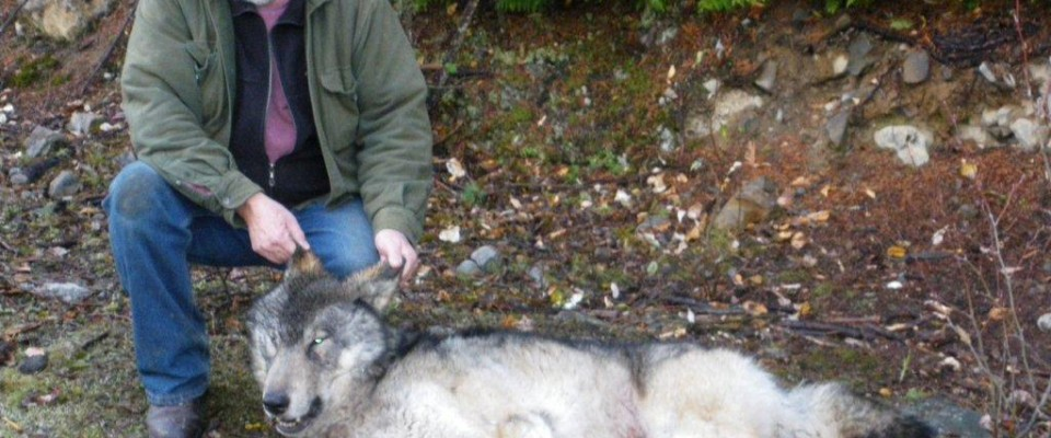 Guided Canadian Grey Wolf Hunts