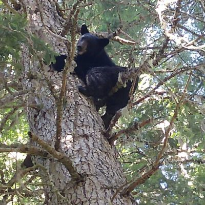 Idaho Black Bear Season