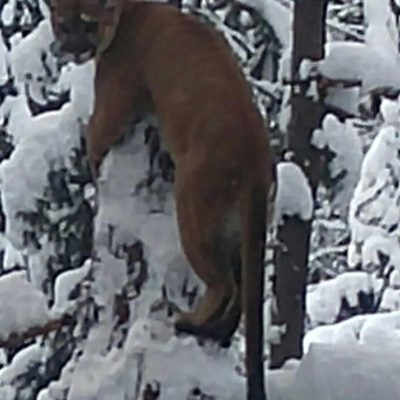 Miles High Outfitter specializes in record book cougar.