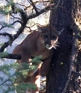 Treeing Cougar with Hounds