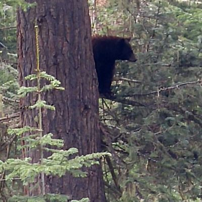 Idaho Black Bear Population