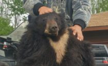 Starting the Spring Bear Hunt of with a Bang!
